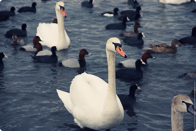 swans-24-2-12-05