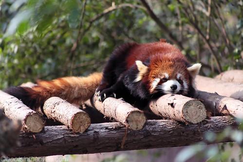 Snurfly Red Panda