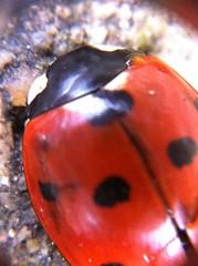 IMG_0186 Ladybird