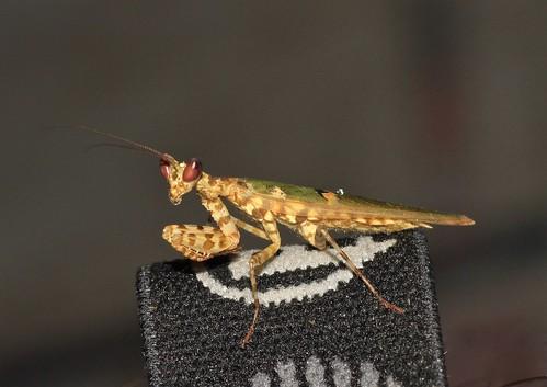 Creobroter sp. (Hymenopodidae)
