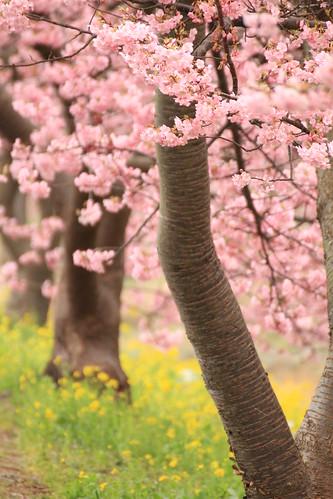 みなみの桜と菜の花まつり 2012 Cherry & Rape Blossom Festa
