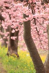 [フリー画像素材] 花・植物, 桜・サクラ, 樹木, 風景 - 日本 ID:201203121200