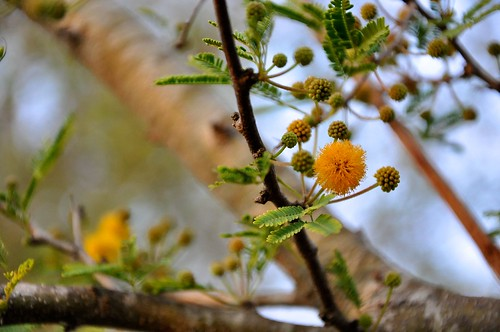 Huisache blooms