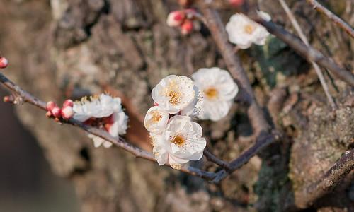 Plum flower #4