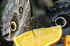 owl moth lunch
