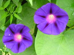 pansy(0.0), annual plant(1.0), ipomoea violacea(1.0), flower(1.0), purple(1.0), ipomoea alba(1.0), plant(1.0), flora(1.0), petal(1.0),