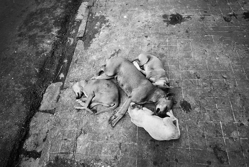 Kolkata canines asleep on the sidewalk.