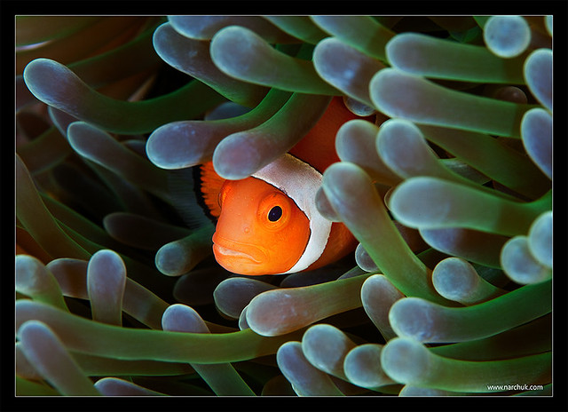 6815029412 319174c043 z Photographers Who Found Nemo And Photographed It