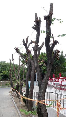 不當修樹導致行道樹如危樹,風一來就被吹倒。(圖:晁瑞光)