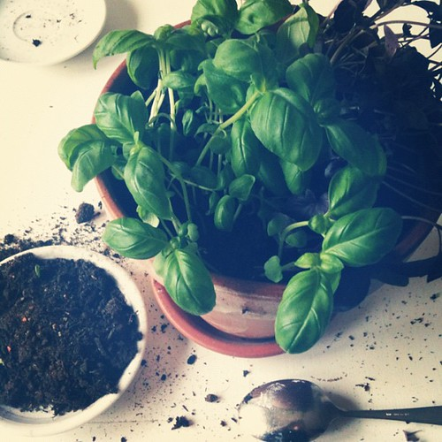 Making some major mess while repotting the basil I bought on Saturday #12von12 #12on12th
