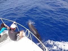 ハワイ島コビレゴンドウクジラ