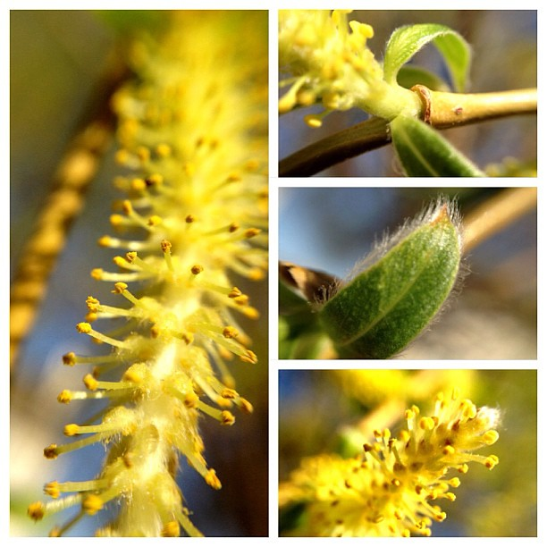 Weeping Willow Details #olloclip #macro #iphone4s #yellow #spring #collage