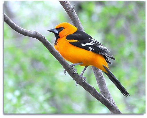 Altamira Oriole by DMoutray - Denny Moutray Photography