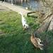 The ducks of Flatford