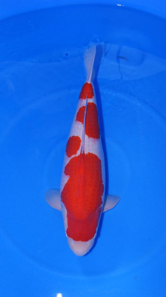 Okawa Sensuke Kohaku 75cm