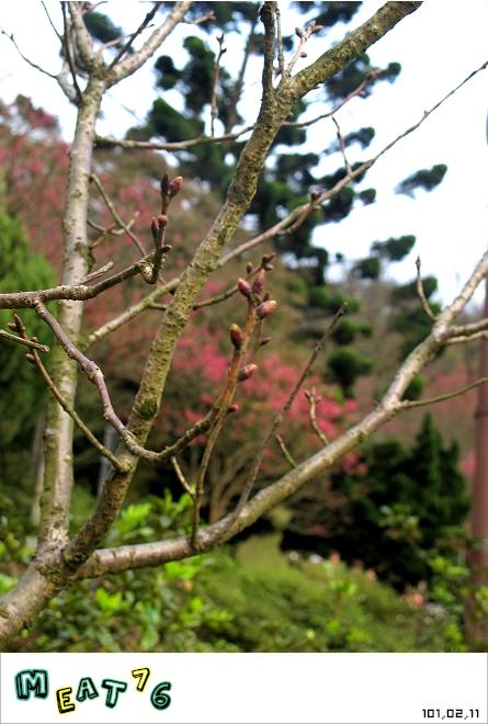 【遊記】陽明山國家公園|櫻花乍現在粉紅意境的花花世界06