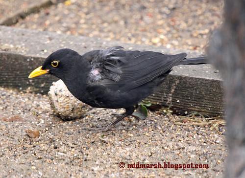 Black bird IMG_3725