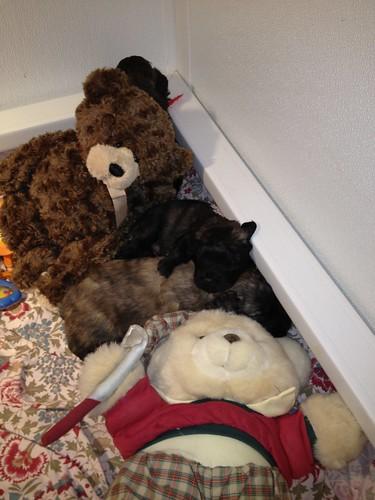 Puppy and teddy bear scrum