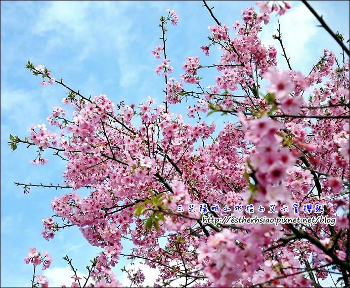 24 盛開的昭和櫻