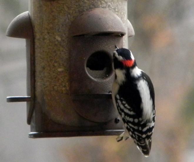 02-10-2012_Male Woodpecker