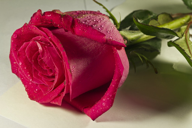 41 Lovely Rose Pictures