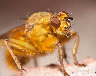 furry yellow fly