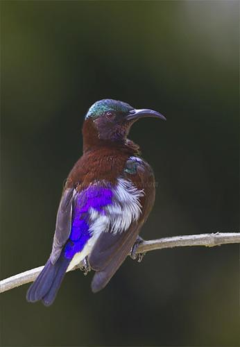 purple_rumped_male by goodfriend19