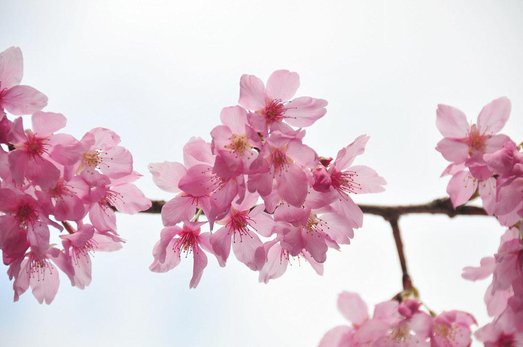 J2012 武陵 櫻花