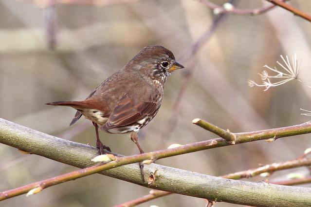 Fox Sparrow:  unalaschensis? altivagans?