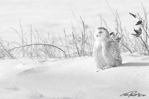 Harfang des neige (b&w) / Snowy owl (b&w) by Luc Parent