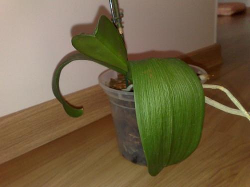 Phalaenopsis desidratada Fonte Forum Tudo sobre Orquídeas
