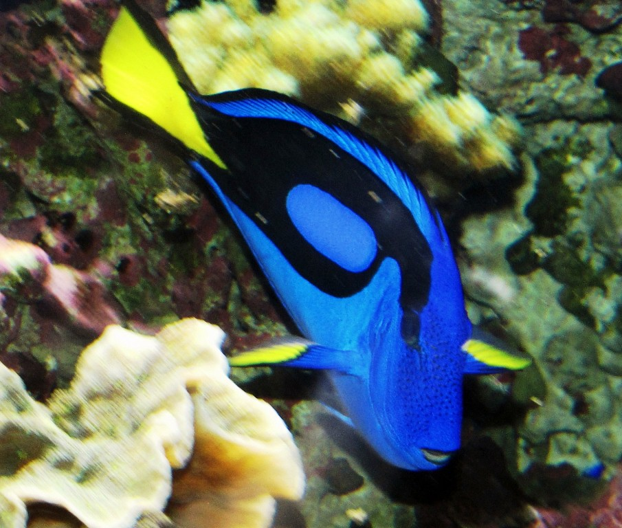 c6921c36601 97+ Facts About Regal Blue Tangs. Paracanthurus Wikipedia. Please ...