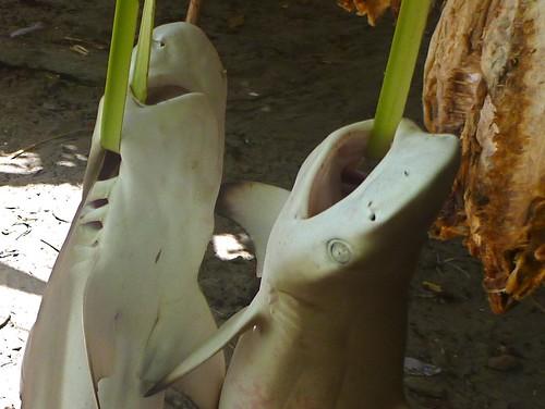 fish dead shark market easttimor atauroisland timorleste