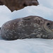 <p>Leopard seal taking a break on the ice.</p>
