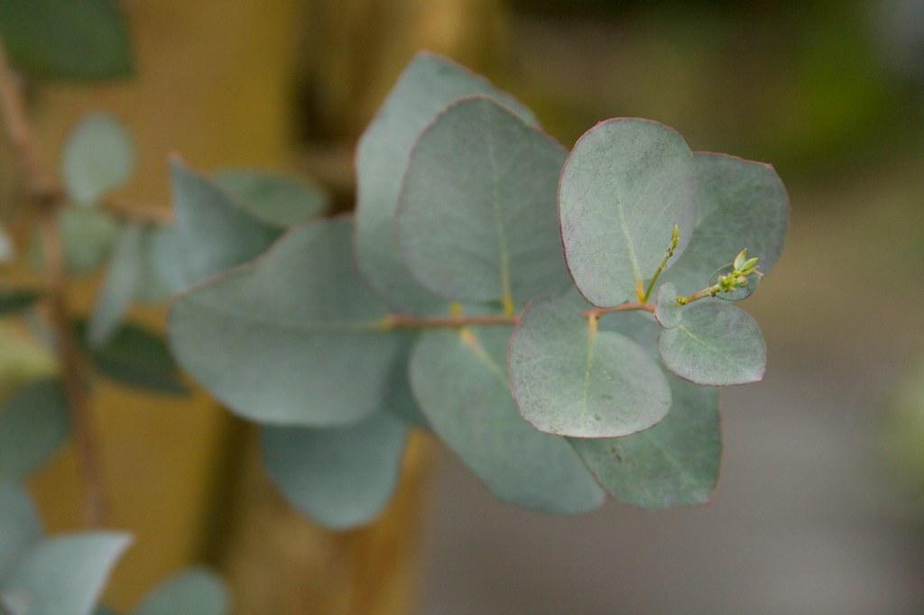 eucaclyptus  1314