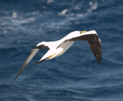 pelican(0.0), albatross(0.0), animal(1.0), charadriiformes(1.0), wing(1.0), gannet(1.0), gull(1.0), beak(1.0), bird(1.0), seabird(1.0),