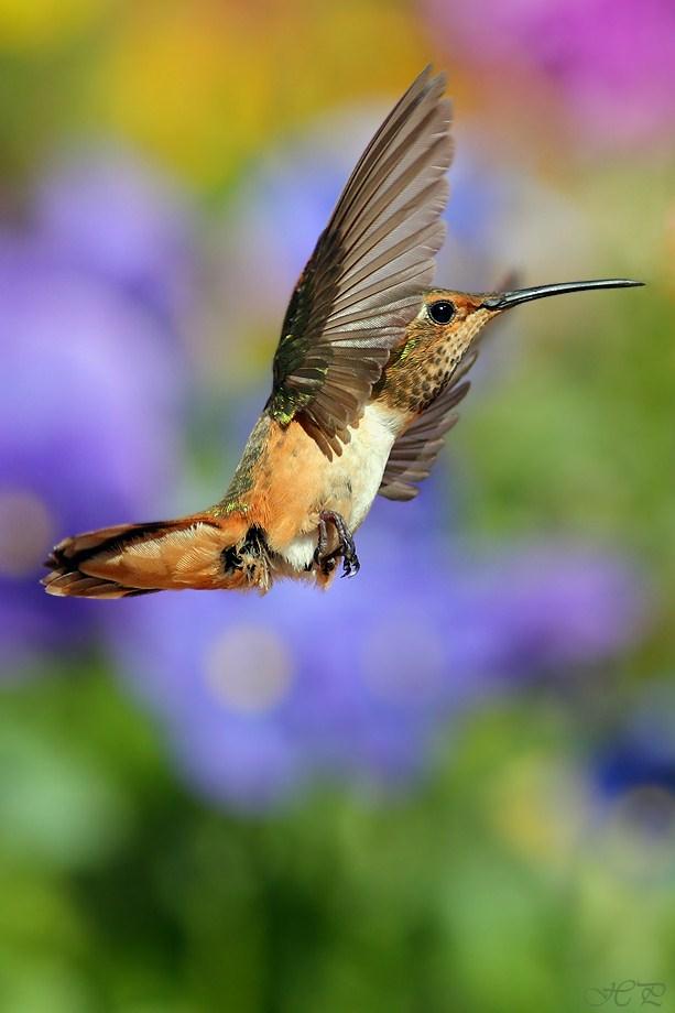 Allen's Hummingbird 031312