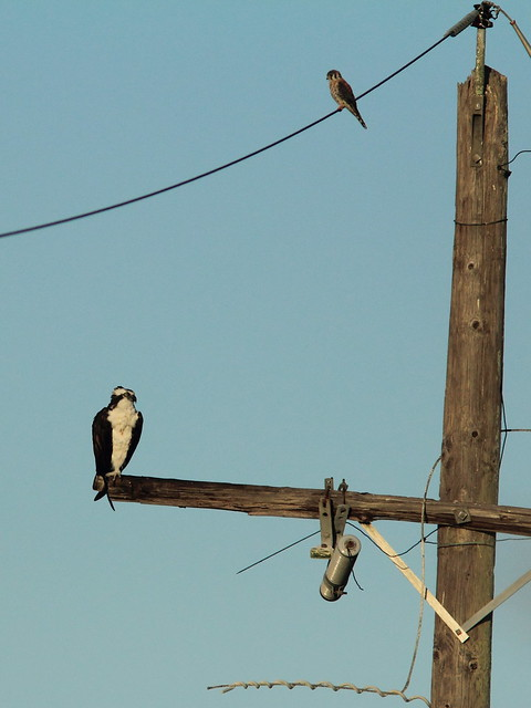Osprey and kestrel 20120315
