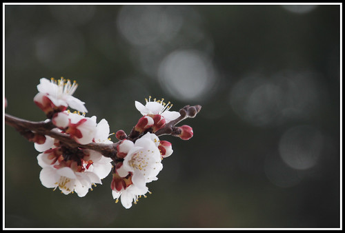 apricot blossom-framed