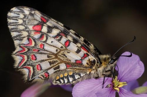 <p>Nombre vulgar: Mariposa de las aristoloquias.<br /> Observaciones: Especie protegida.<br /> Clasificada como &quot;De interés especial&quot;</p>