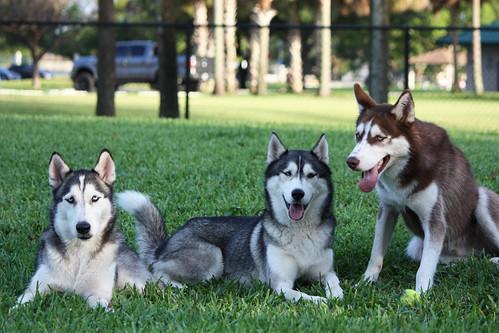 Florida Huskies and the NEW addition 9/5/13 - Page 5 7082394963_b25814ff9e