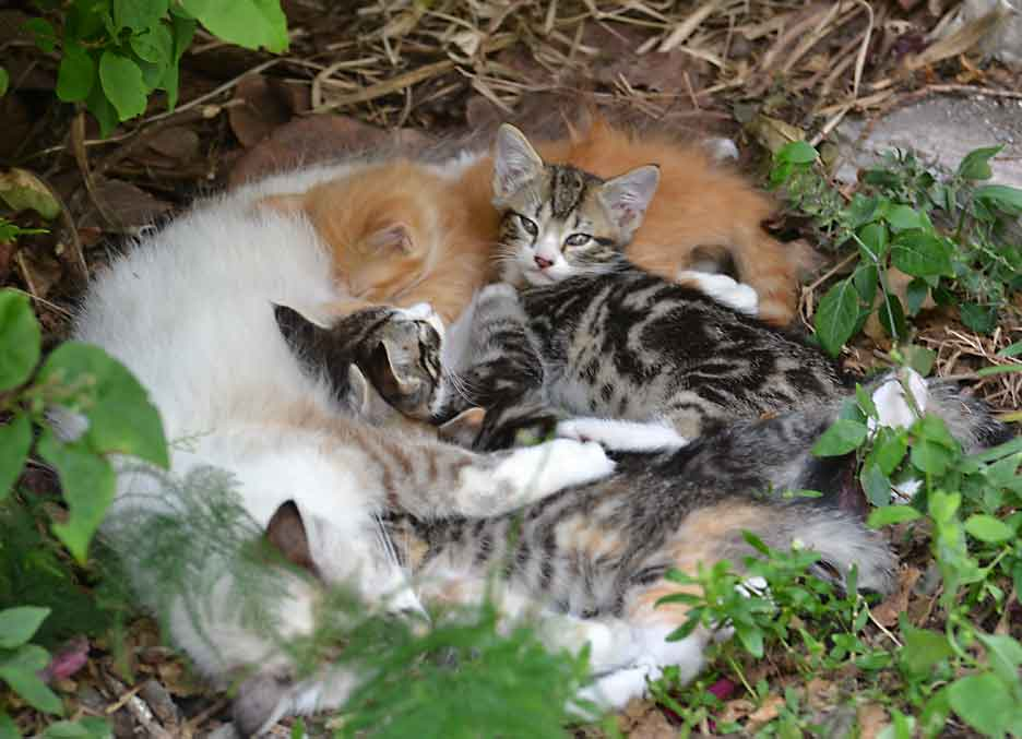 nursing kittens_6324