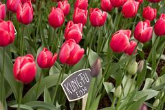 Kung Fu tulips