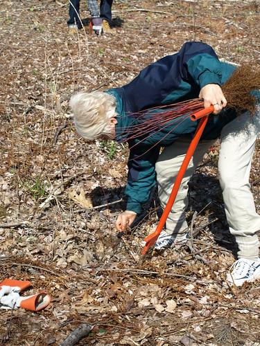 Planting silky dogwood