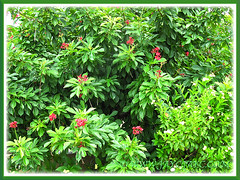 Jatropha integerrima (Spicy Jatropha, Peregrina, Firecracker, Chaya) shrubs, seen in Malacca, Malaysia