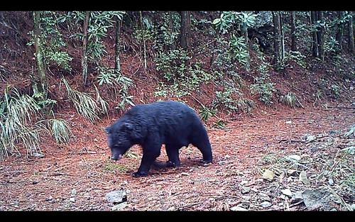 大雪山拍到的黑熊,外觀健康,一派自在,東勢處保育任務達陣。(圖片來源:東勢林管處)