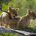 Pouncing Playtime for San Diego Zoo Safari Park Lion Cubs
