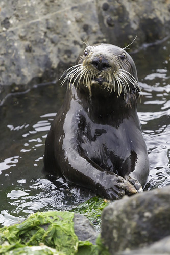 a very human-looking whiskery sea otter in a small rock pool, cracking open clams.