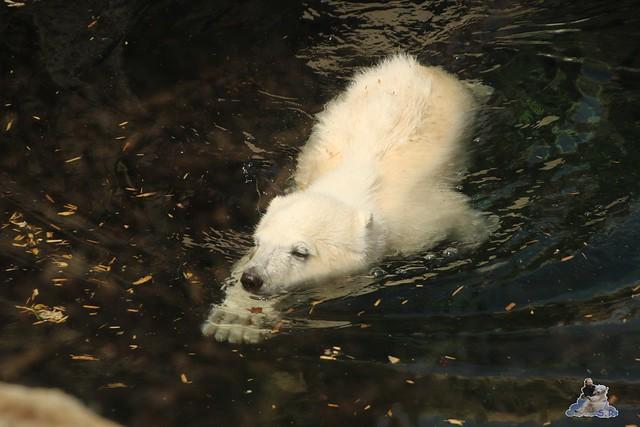 Eisbär Lili im Zoo am Meer Bremerhaven 14.05.2016 Teil 1 015
