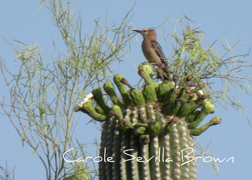 Gila Woodpecker on Saguarro
